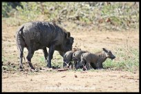 Warthog family enjoying the mud