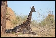 Lazy giraffe