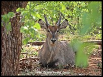 Young waterbuck