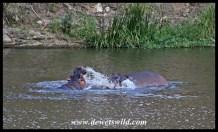 Playful hippos