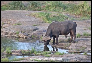 Buffalo drinking from a pool in the Shingwedzi