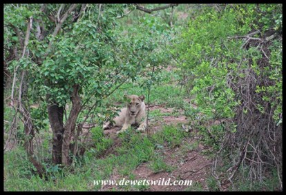 Lion at the Sirheni turnoff