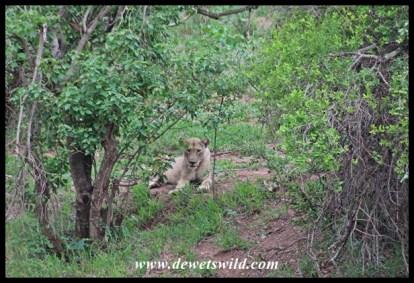 Lion at the Sirheni turnoff