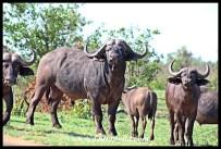 Big Buffalo Bull