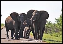 Protective elephant herd
