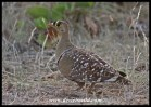 Male Double-banded Sandgrouse