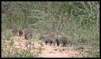 Banded mongoose troop at Skukuza
