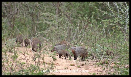 Banded mongoose troop at Skukuza