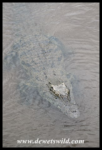 Crocodile at the Sabie Bridge