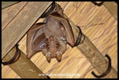 Epauletted Fruit Bat at Skukuza Airport