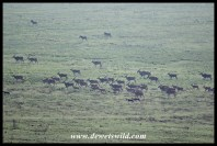 Eland herd on the move