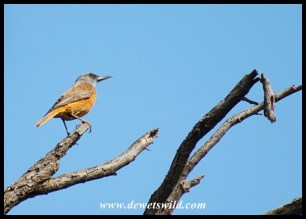 Cape Rock-Thrush (male)