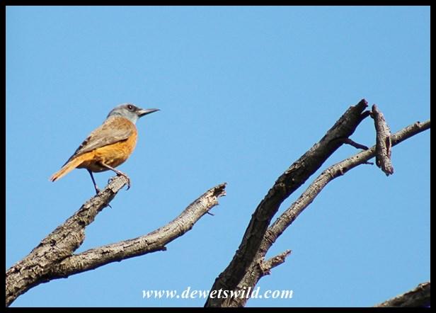 Cape Rock-Thrush (male)
