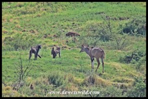 Kudu and baboons