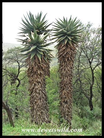 Aloes large and small abound at Suikerbosrand