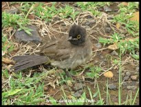 African Red-eyed Bulbul fledgling