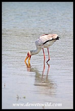 Yellow-billed Stork at Sunset Dam