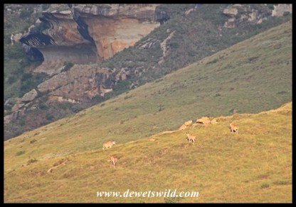 Eland cresting a nearby hill