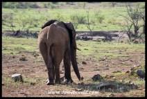 Elephant bull at Batlhako