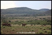 Elephant herd on the move near Bakubung
