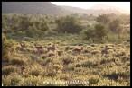 Early morning impalas