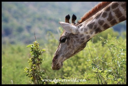 Giraffe reaching for tasty leaves