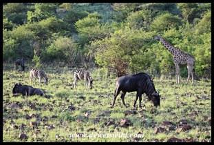 Herbivores often congregate in mixed herds