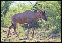 Tsessebe in the Pilanesberg