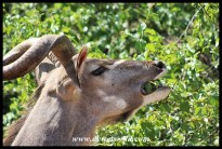Kudu close-up