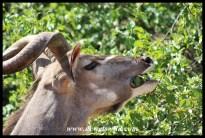 Kudu close-up
