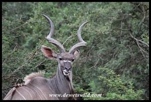 Older kudu