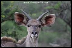 Young kudu