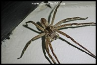 Wolf spider, the size of a cake plate!
