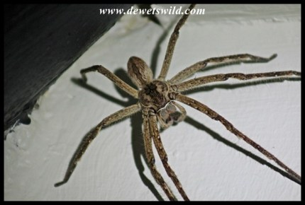 Rain Spider, the size of a cake plate!