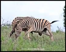 Zebra altercation