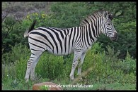 White with black stripes, I suppose?