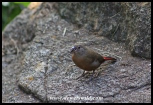 African Firefinch (female)