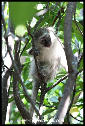 Vervet Monkey in a mangrove tree