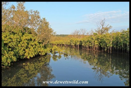 Mangroves lining the lagoon at Umlalazi Nature Reserve