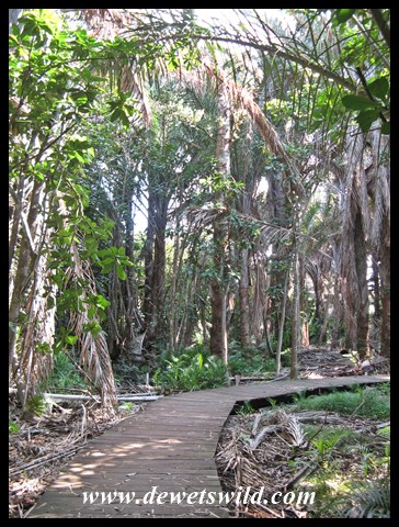 Raphia Palm grove