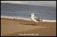 Grey-headed Gulls are numerous on the beach