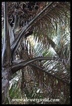 Palm-nut Vulture high in a Kosi Palm