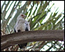 Palm-nut vulture close-up