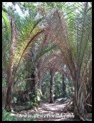 Kosi Palm grove