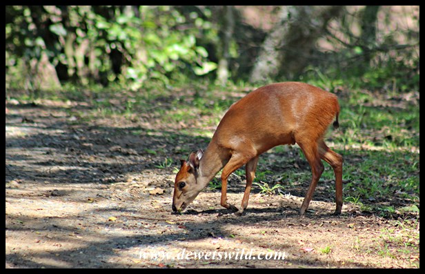 Red Duiker abound in the forests