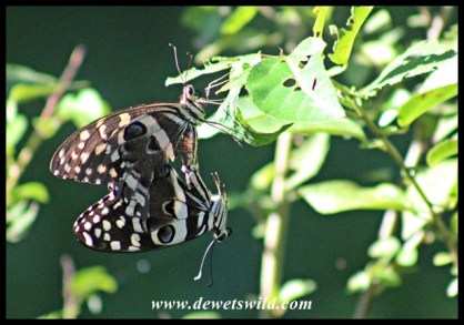 There seems to be butterflies everywhere you look in the forest - these are mating Citrus Swallowtails