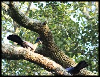 Purple-crested turacos