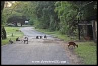 Red Duiker and Vervet Monkeys at home in Umlalazi
