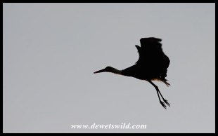 Woolly-necked stork taking flight