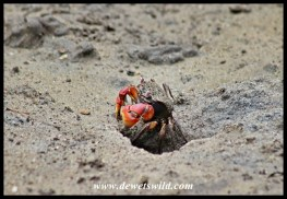 Sesarma-crab at the entrance to its hole